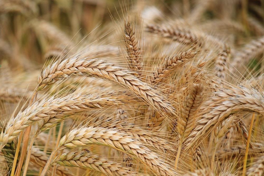 spighe di grano di timilia
